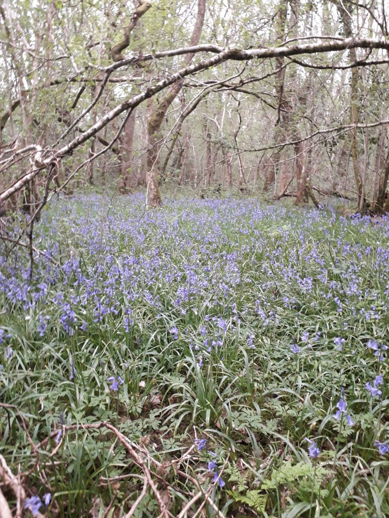 bluebells, dog walk, Spring