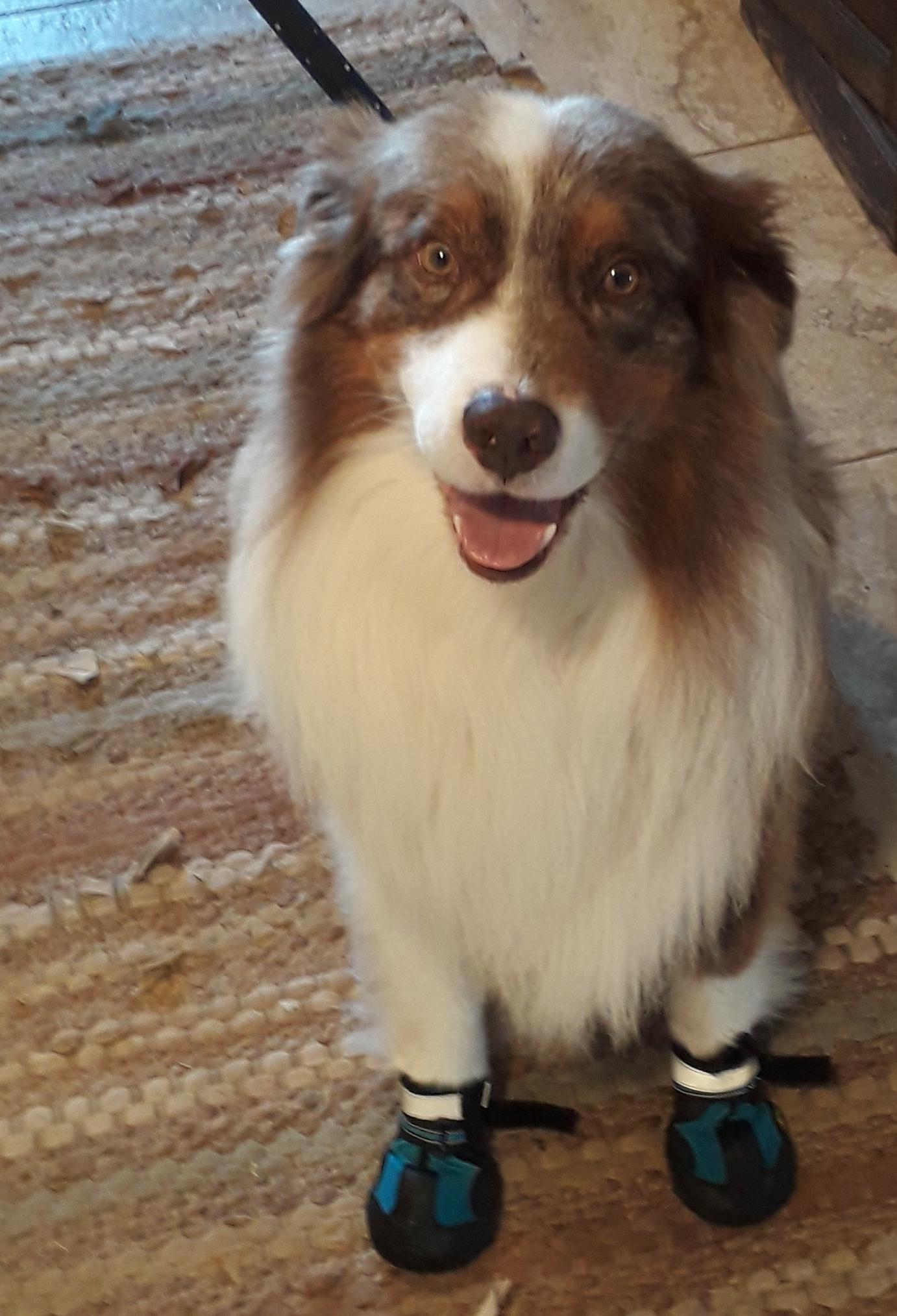 dog walkies boots
