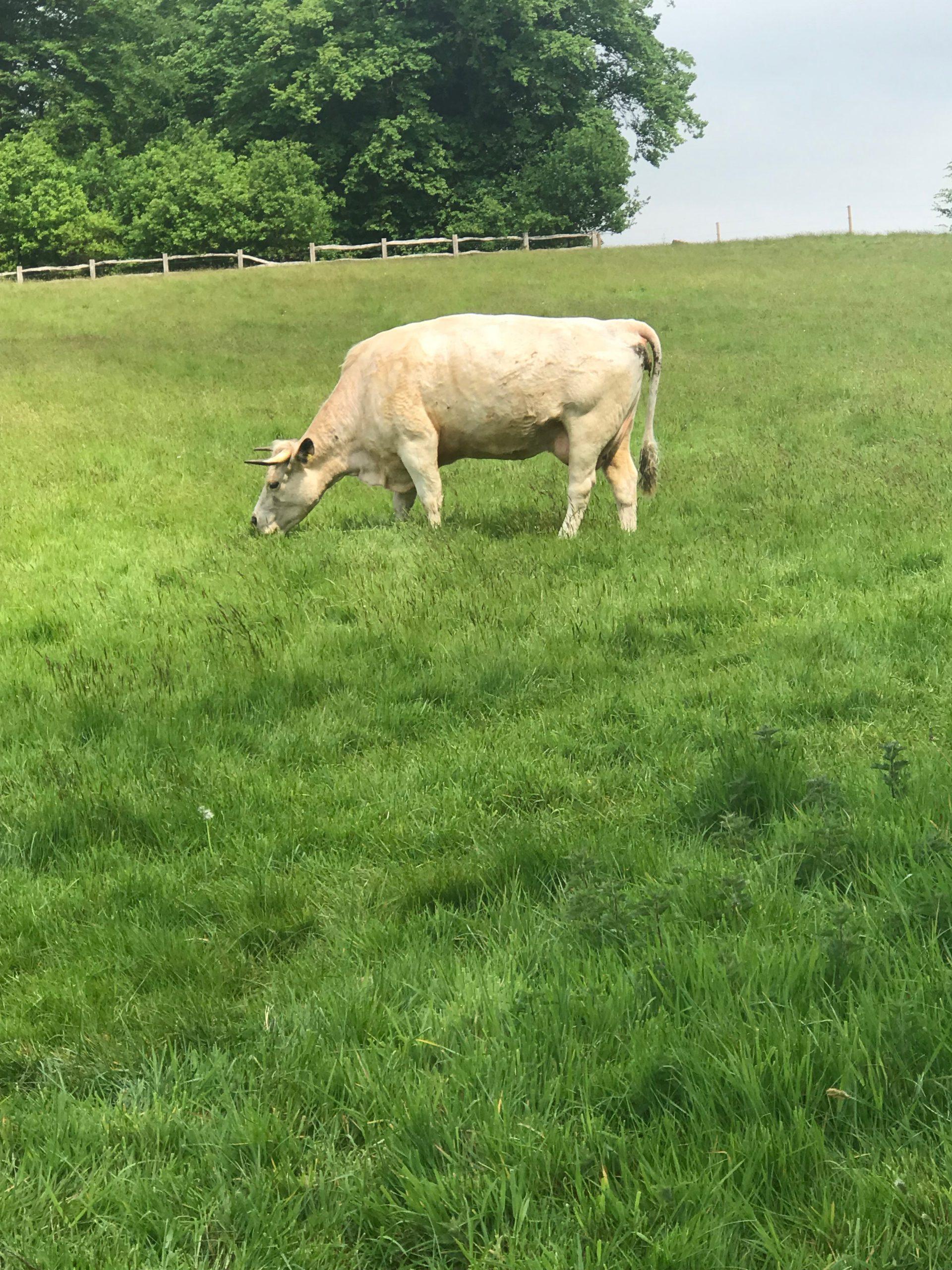 Dinefwr White Park Cattle